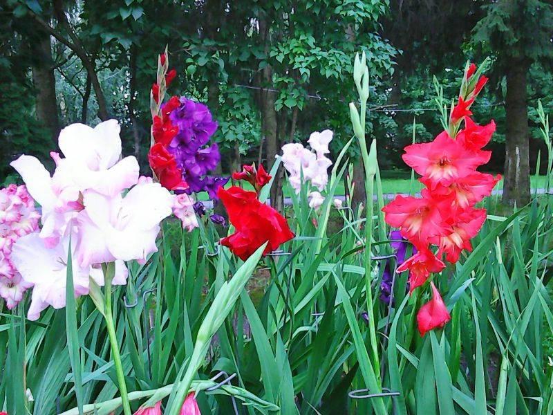 Мир цветов, растений, деревьев - Страница 3 Gliordijos_zps8d5f214e