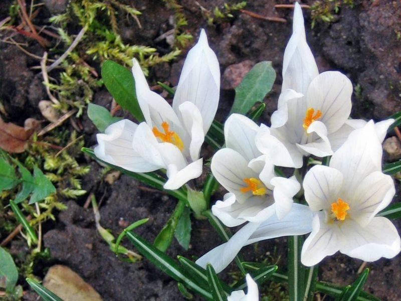 Мир цветов, растений, деревьев - Страница 3 Krokai_zpscr1rmj88