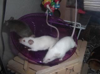 Three mice sharing a saucer wheel CarmenMusettaLucia10-24-13_zps01b6d99b