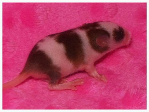 """♥ Baby Fancy Mice """"Coming soon"""" ♥ 187de46e-e677-4c19-b0b9-a86feb61c632_zps0e2d8915"""