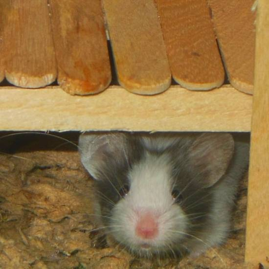 New Mice for Trixie's Mouse House: Cosmo and Cassiopeia  D8a7fb4a-1268-4c25-809e-dfab89d33247_zpsb6021f05