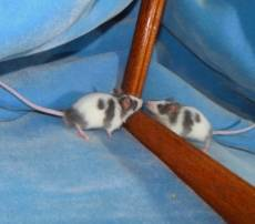 New Mice for Trixie's Mouse House: Cosmo and Cassiopeia  E924726a-7671-4c23-a0af-c24c3c946a60_zpsf83484a3