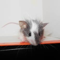 New Mice for Trixie's Mouse House: Cosmo and Cassiopeia  Fa447036-4e44-4baf-9393-67be126308ba_zpscb171e83