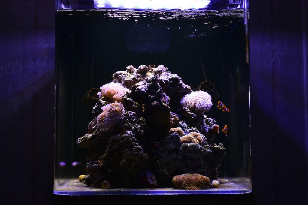 Mon Open Reef 91 - Nouvelle Vidéo p13 - Photos de macro p10 - Page 4 15a714ae1639eee1bf28bf121c788e49_zps471265b3