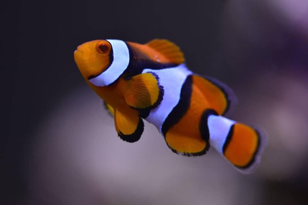 Mon Open Reef 91 - Nouvelle Vidéo p13 - Photos de macro p10 - Page 4 1f7e949133f7cb98ab93e8292ce4ca81_zpsb136dd0e