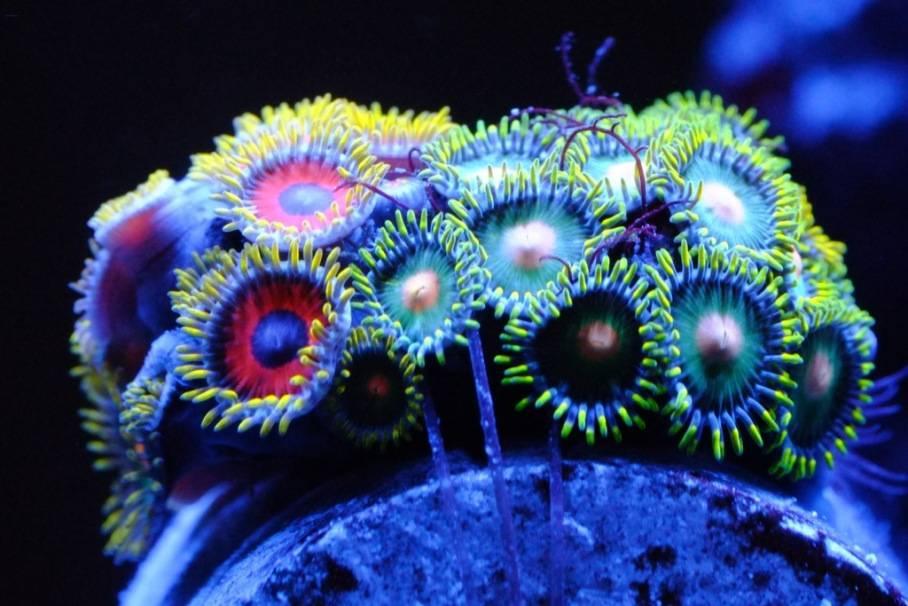 Mon Open Reef 91 - Nouvelle Vidéo p13 - Photos de macro p10 - Page 6 20130516-230614_zps7e1aed61