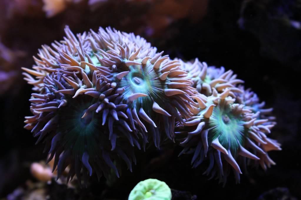 Mon Open Reef 91 - Nouvelle Vidéo p13 - Photos de macro p10 - Page 6 59c7a2f5a023d82d6fe9717d14e8b9e1_zps8e2318b9