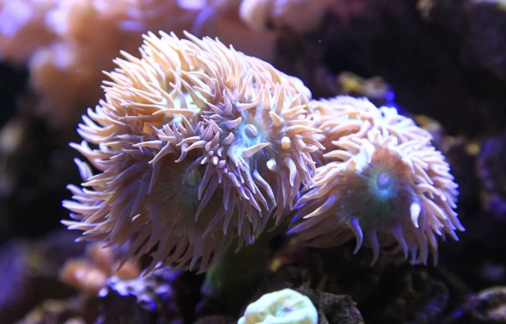 Mon Open Reef 91 - Nouvelle Vidéo p13 - Photos de macro p10 - Page 5 B87074d115895160ed888b8d436ac95c_zps01c2f97b