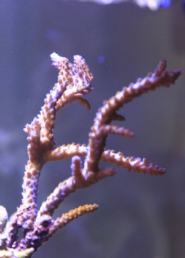 Mon Open Reef 91 - Nouvelle Vidéo p13 - Photos de macro p10 - Page 5 D27b0d81b61be8d38ceb8a4ecd28dc7b_zpsa8c2fded