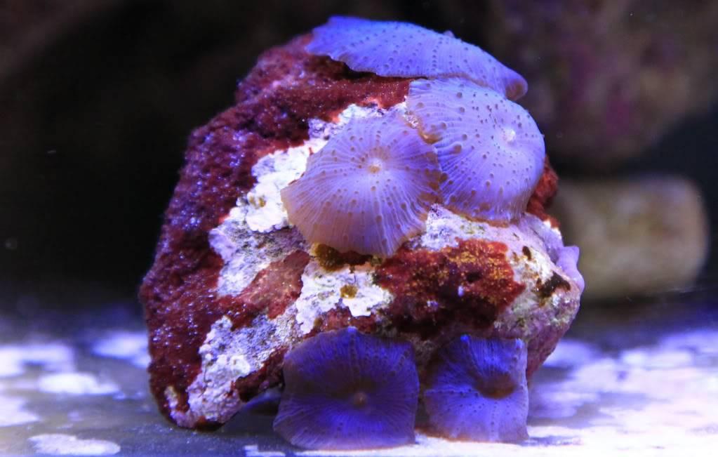 Mon Open Reef 91 - Nouvelle Vidéo p13 - Photos de macro p10 - Page 5 Dca025394fe164c8c7ee890c55972306_zpsb4a4d813