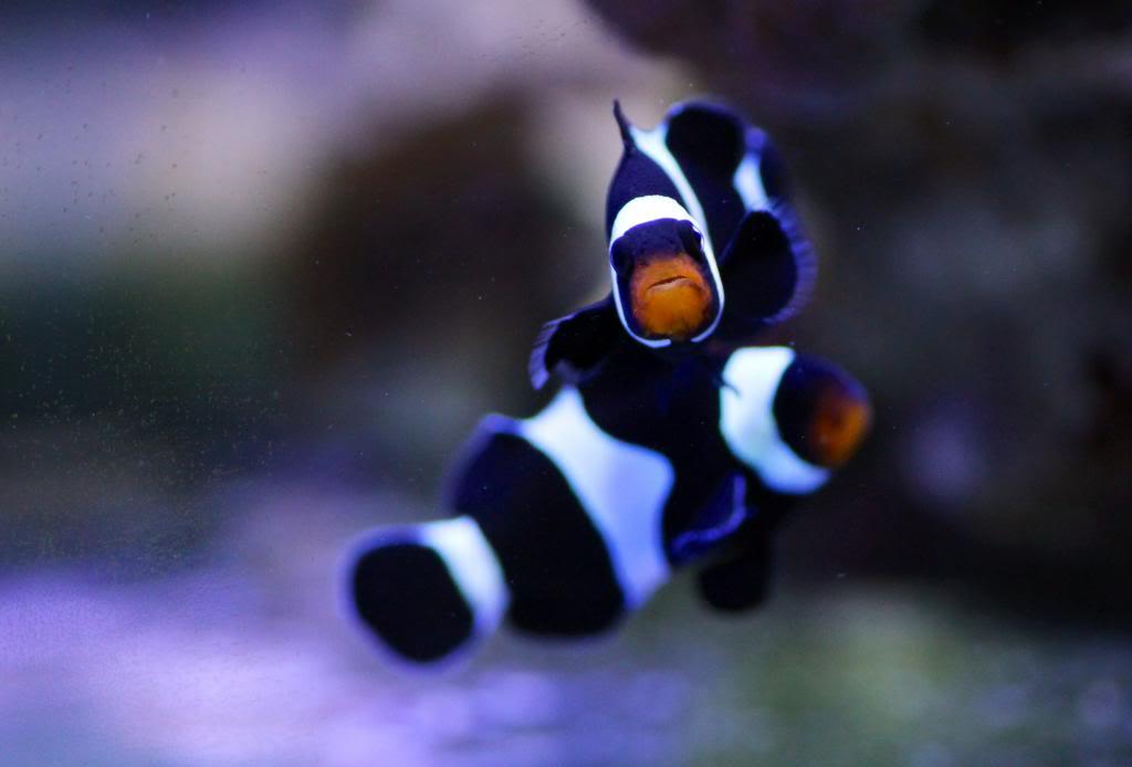 Mon Open Reef 91 - Nouvelle Vidéo p13 - Photos de macro p10 - Page 9 Image_zps8fe1caf7