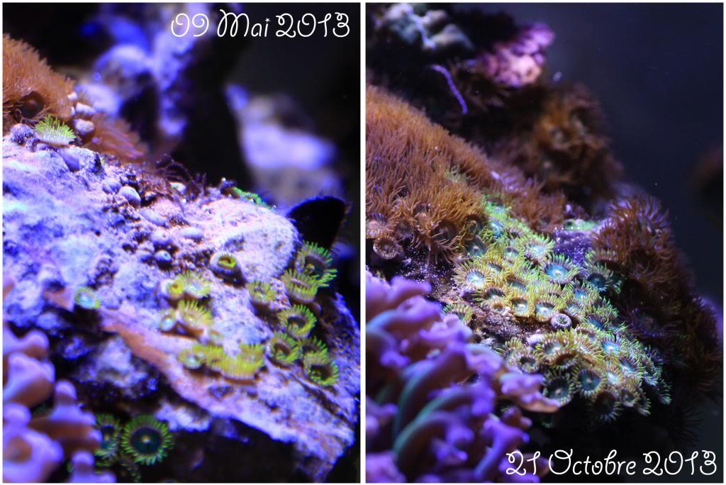 Mon Open Reef 91 - Nouvelle Vidéo p13 - Photos de macro p10 - Page 9 Zoanthus_zps368a4550