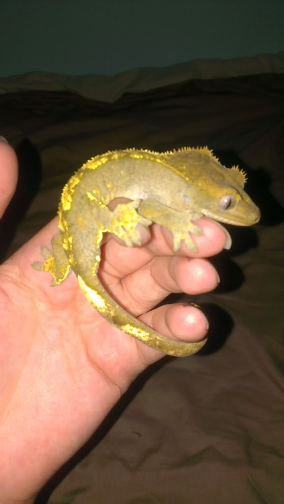 The Crested Gecko Forum - Portal IMAG0219_zps97ebac39