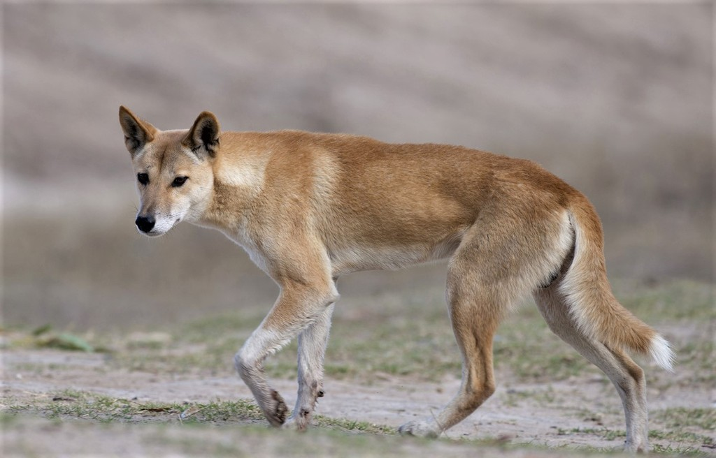 Southlands Replicas - Red Kangaroo Buck, Dingo and Echidna 10_zpssxjhxqqs
