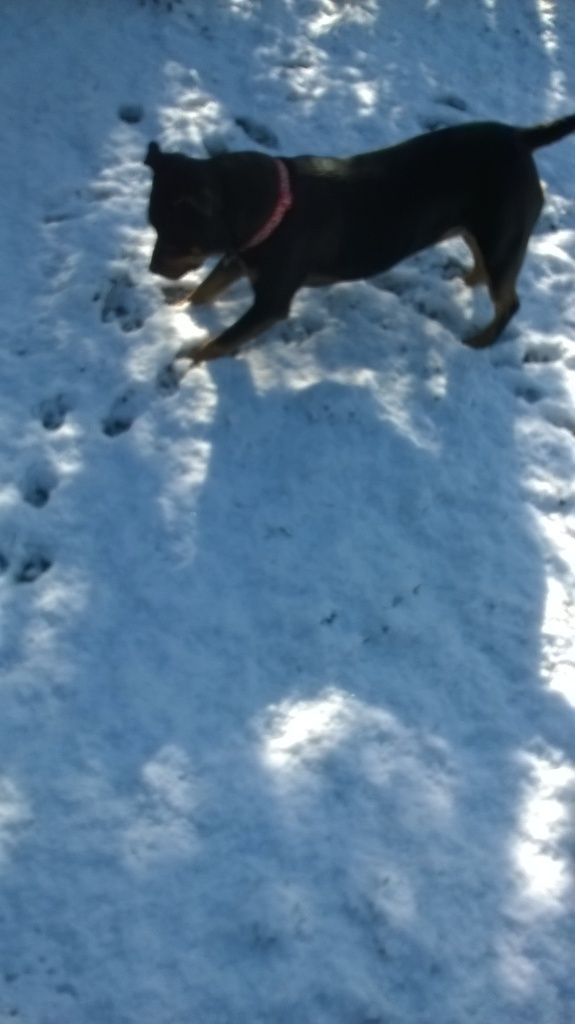 kizzy playing in the snow today Temporary_zps86d485b1