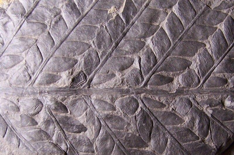 Odontopteris Brongniart , 1825 . 100_3002-copia_zpsa81dd5b4