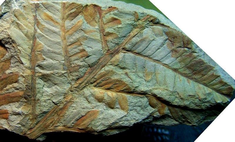 Odontopteris Brongniart , 1825 . 100_3306-copia_zps09ddb33f
