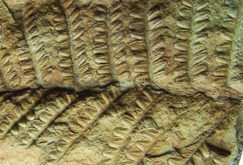 Remia pinnatifida (Gutbier) Knight emend. Kerp et all. 100_3422-copia2-copia_zps2d4b47ce
