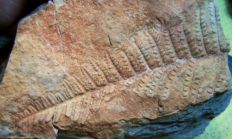 Remia pinnatifida (Gutbier) Knight emend. Kerp et all. 100_3425-copia_zps54c5463a