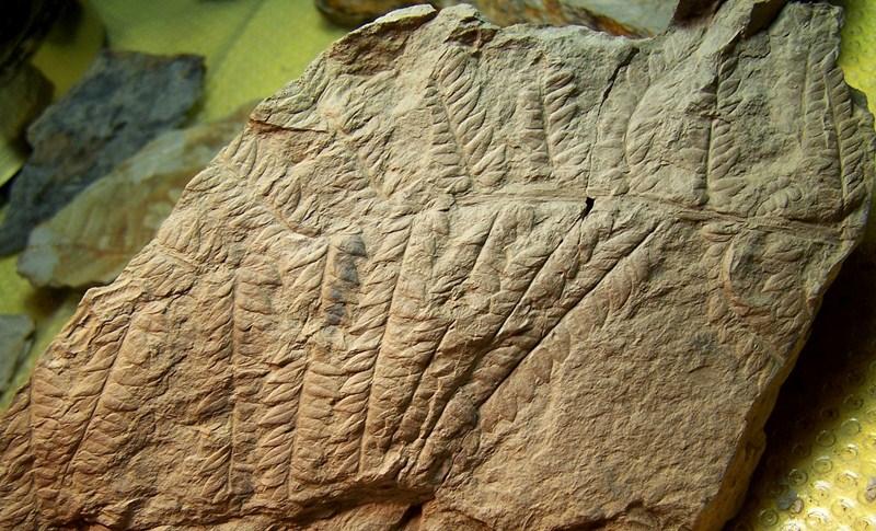 Pseudomariopteris busquetii 100_3436-copia_zps31fe902b