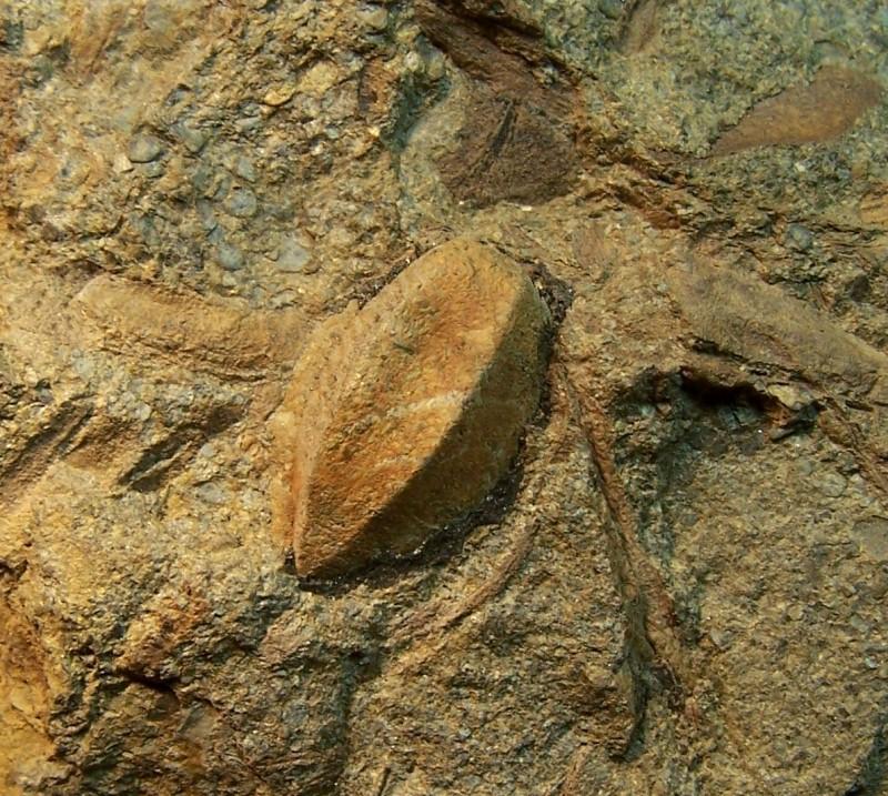 Trigonocarpus  Pachytesta  Hexagonocarpus  100_3584-copia_zpscb0e93b9