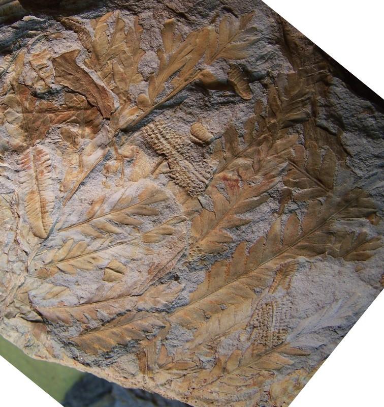 Odontopteris Brongniart , 1825 . 100_3696-copia_zps4af99ba8