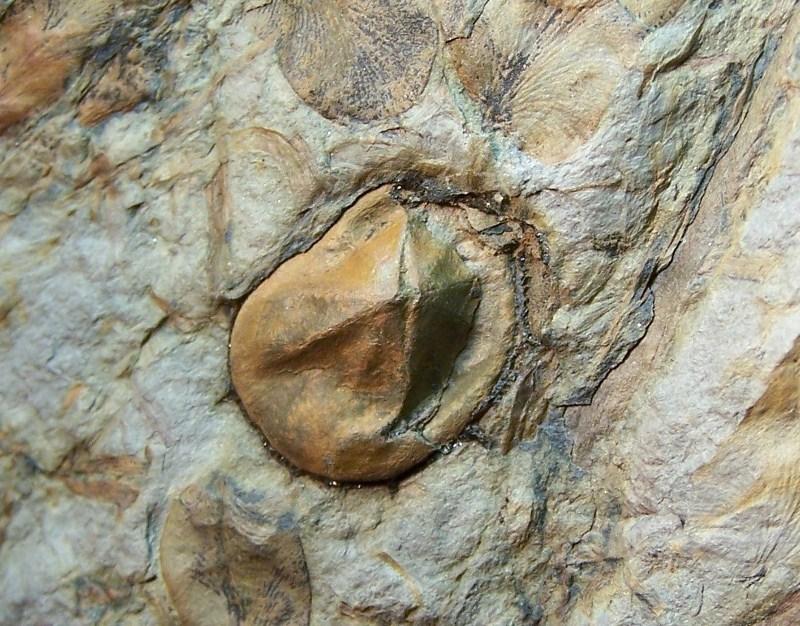 Trigonocarpus  Pachytesta  Hexagonocarpus  100_3807-copia-copia_zpsf301b58b