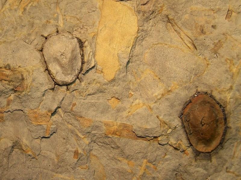 Trigonocarpus  Pachytesta  Hexagonocarpus  100_3825-copia_zps5024d9b9