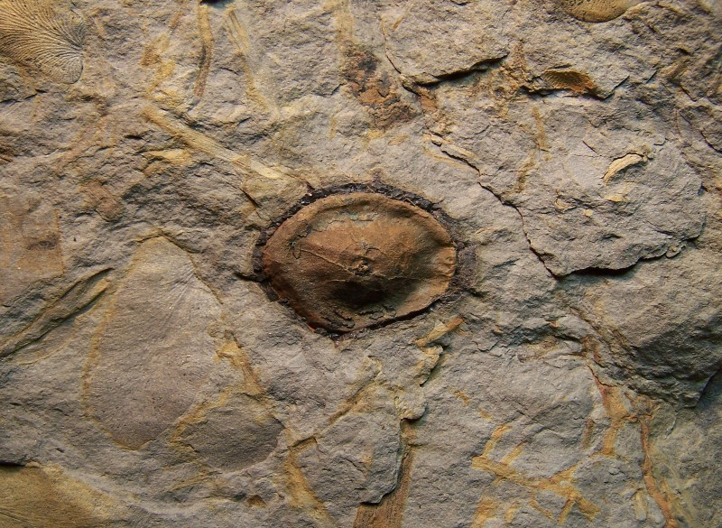 Trigonocarpus  Pachytesta  Hexagonocarpus  100_3834-copia-copia_zps8aa4ae47
