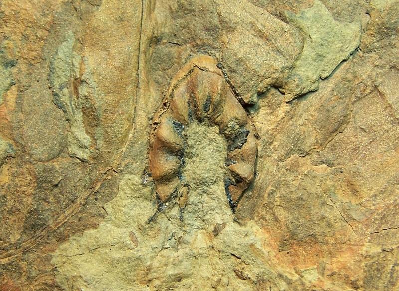 Trigonocarpus  Pachytesta  Hexagonocarpus  100_3842_zps6f8d0919