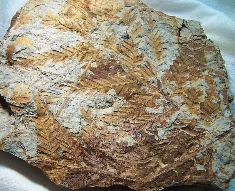 Odontopteris Brongniart , 1825 . 100_3865%20-%20copia_zpsl9wloktz