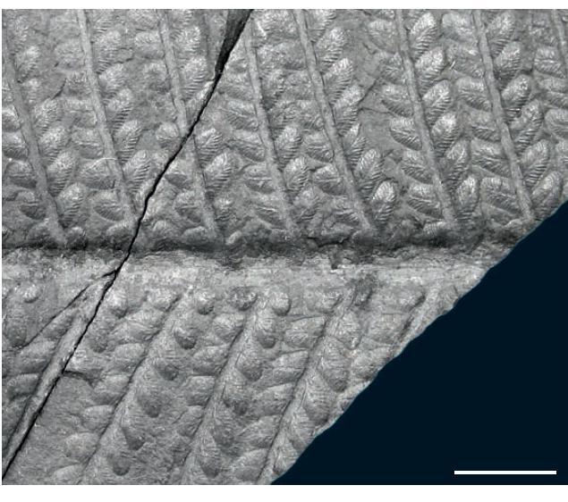 Remia pinnatifida (Gutbier) Knight emend. Kerp et all. Barthelotrocura_zps7fa560a3