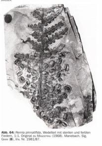 Remia pinnatifida (Gutbier) Knight emend. Kerp et all. Sintiacutetulo-copia-copia_zps466ecc61