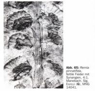Remia pinnatifida (Gutbier) Knight emend. Kerp et all. Sintiacutetulo_zpse6445cdc