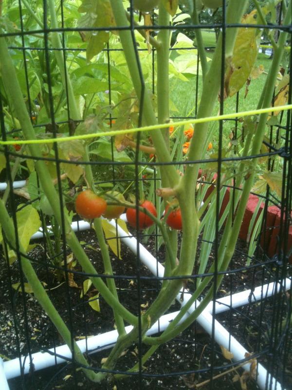 Coastal & Tropical South: June Garden Updates! IMG_3755