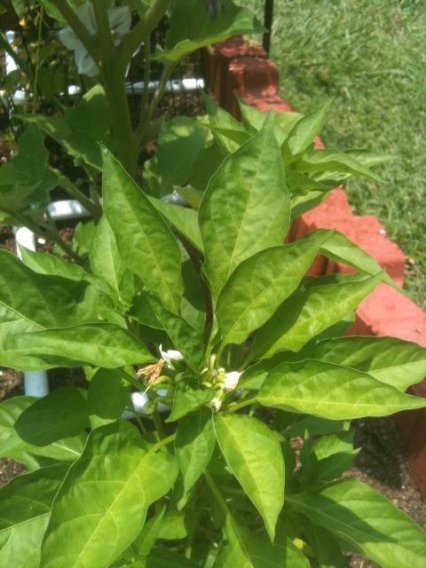 Coastal & Tropical South: June Garden Updates! Photo-151