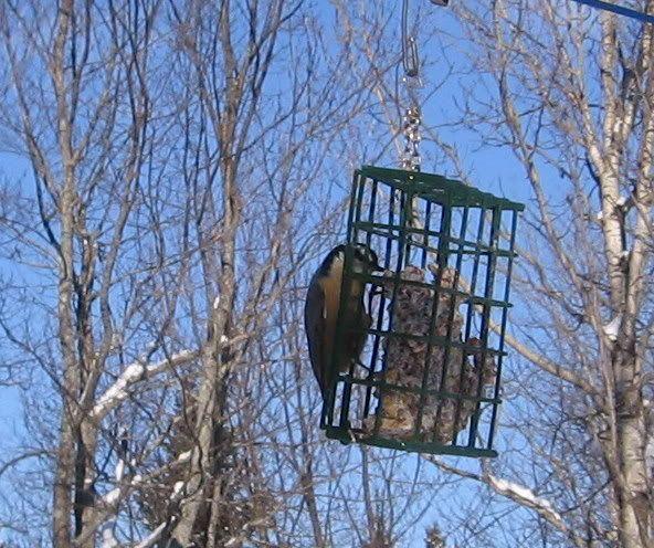 Mes oiseaux aux mangeoires 12-01-2009025