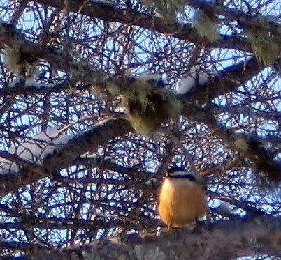 Mes oiseaux aux mangeoires 12-01-2009080