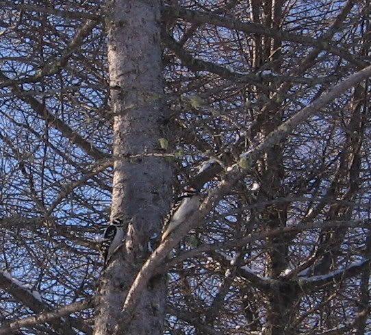 Mes oiseaux aux mangeoires 12-01-2009089