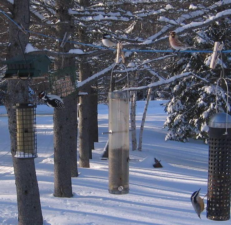 Mes oiseaux aux mangeoires 12-01-2009094