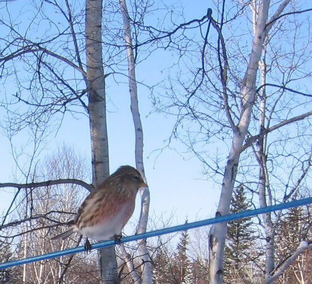 Mes oiseaux aux mangeoires 12-01-2009099