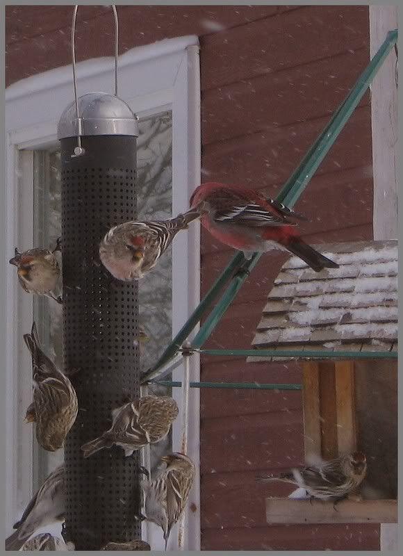 Mes oiseaux aux mangeoires 19-01-2009030