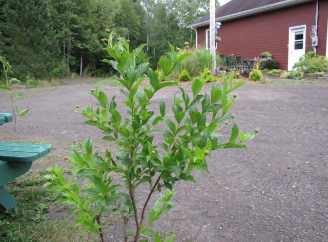 Arbustes:  Cephalanthus occidentalis Sputnik ArbusteCephanlanthusoccidentalisSputnick2013