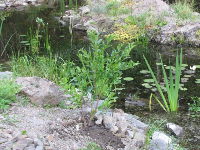 Arbustes:  Cephalanthus occidentalis Sputnik IMG_0030_640x480-1