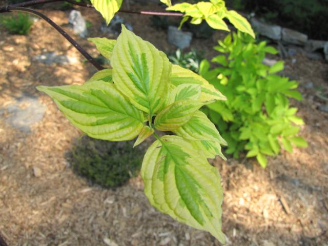 Cornus alternifolia Golden Shadows IMG_0139_640x480