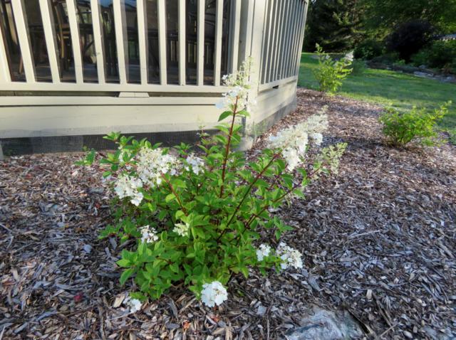 Hydrangea paniculata Sundae Fraise Arbuste%20Hydrangea%20Sundae%20Strawberry%202015