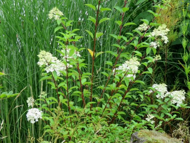 Hydrangea paniculata Vanille et Fraise ( Vanilla Strawberry ) - Page 3 Hydrangea%20Vanille%20Fraise%202015
