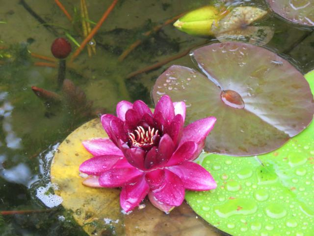 Bassin Nymphaea%20Almost%20Black%20aout%202015