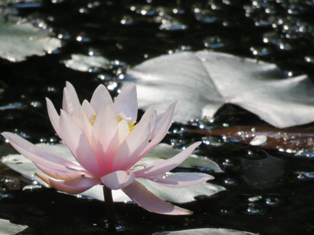 Bassin Nymphaea%20Attraction%20%2020%20aout%202015