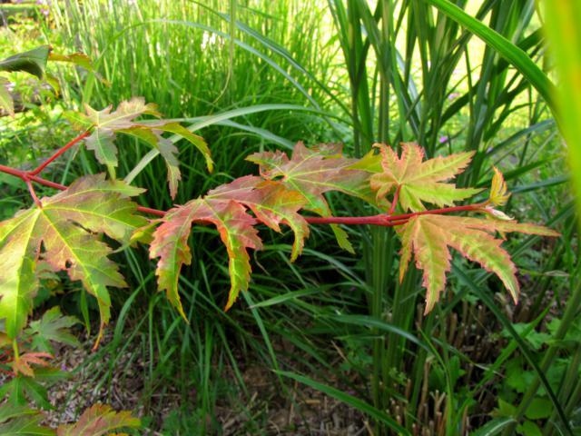 Acer pseudosieboldianum ( Érable de Corée ) Erable%20Koreen%202015